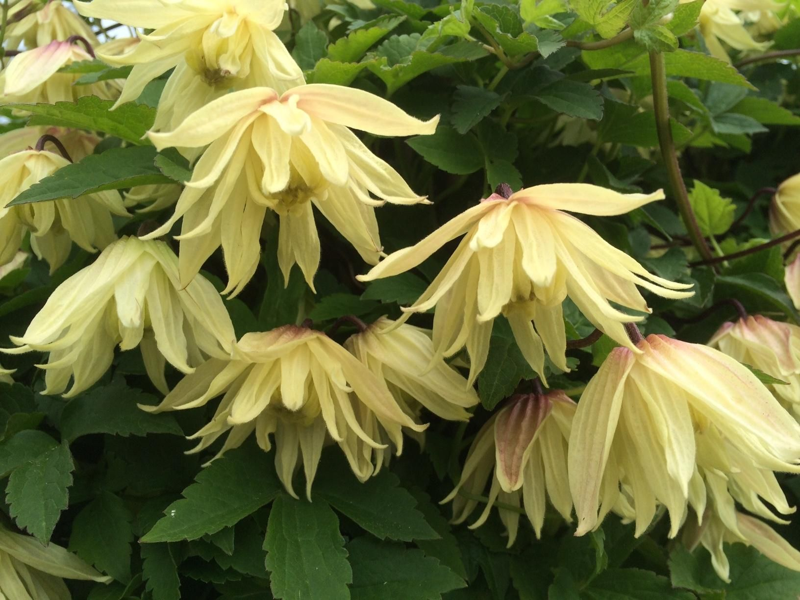 Double Flowered Yellow Clematis Called Amber  Plant Of The