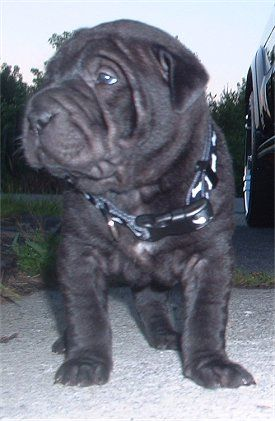 Rupert, the Chinese Shar-Pei puppy at 5 weeks old
