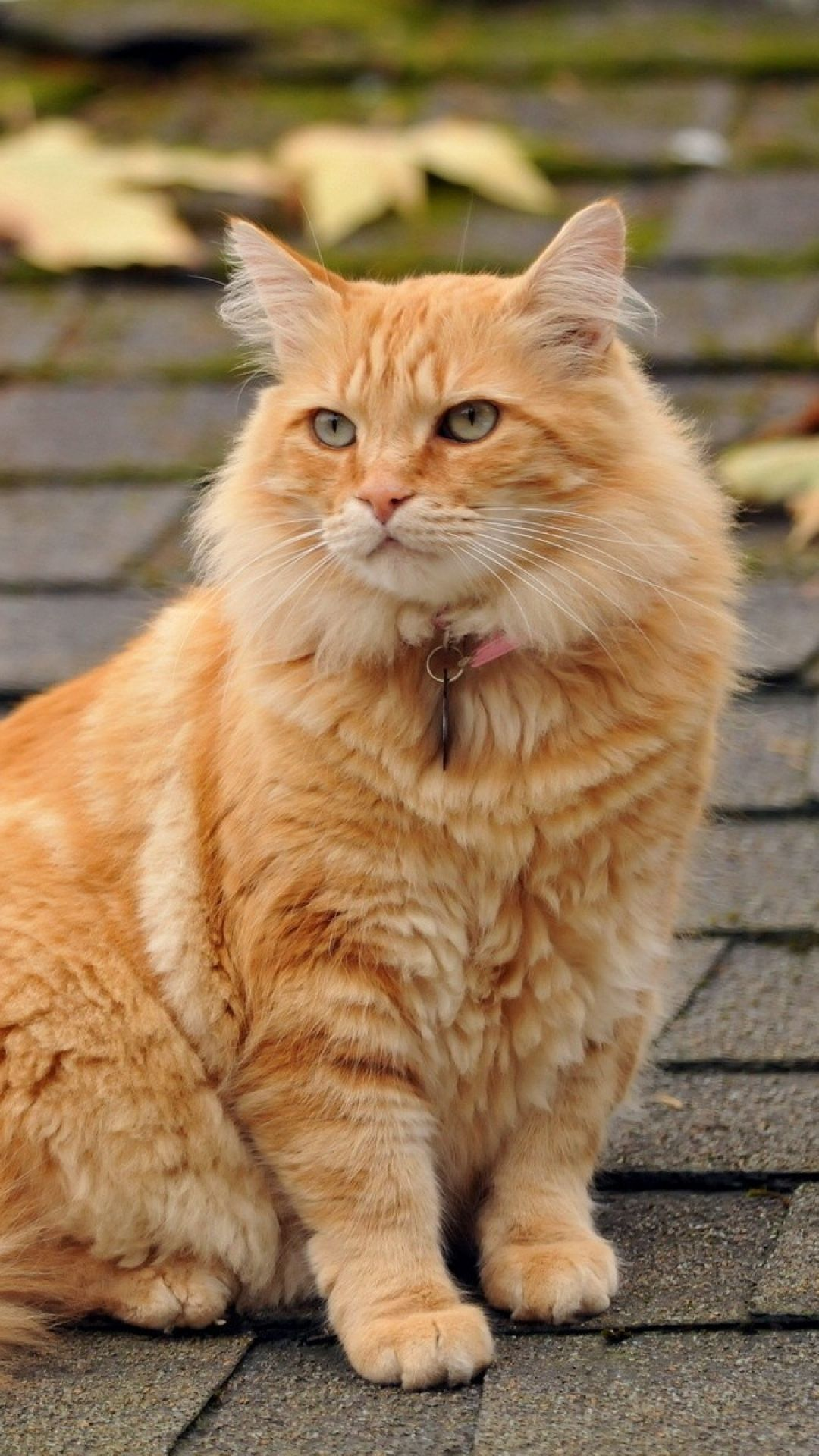 Maine Coon 'Fluff' on the roof. Orange cats, Cat facts
