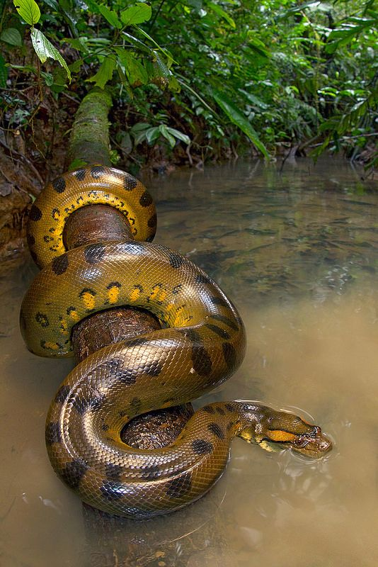 """Anaconda can be 30 feet long and weigh up to 550 pounds. Females are larger than males. They like to eat Fish, Turtles, Caimans, Capybaras, Pigs, Jaguars, Deer and the occasional human, all of which they swallow whole. ~ Miks' Pics """"Animals lV"""" board @ http://www.pinterest.com/msmgish/animals-lv/"""