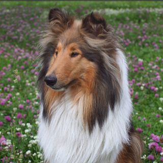 Pin By Peg On Puppies Collie Breeds Sheep Dog Puppy Collie Puppies