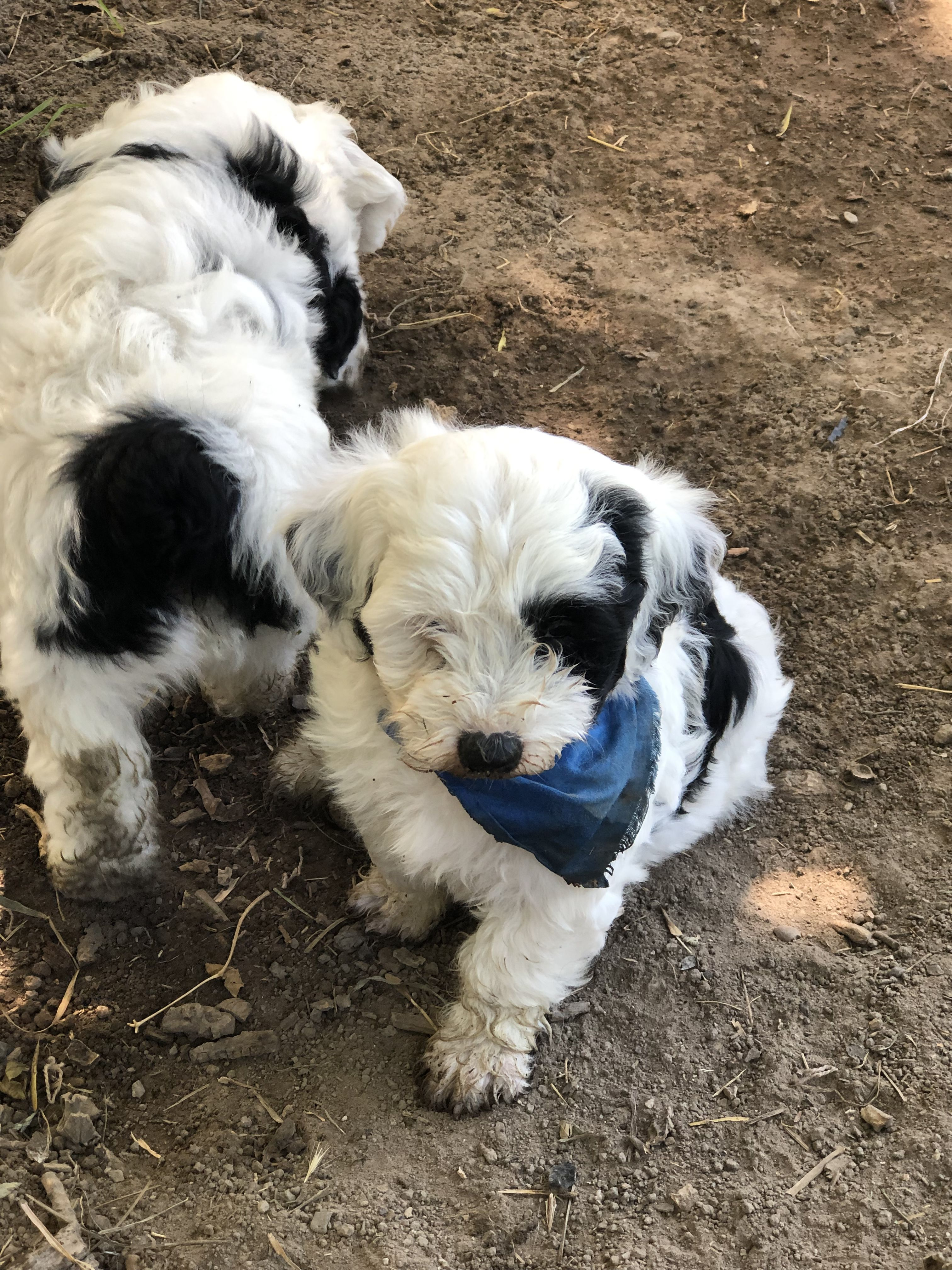 Mini Sheepadoodle Puppies Are Staying Cool In The Wet Mud Sheepadoodle Puppy Puppy Snuggles Goldendoodle Puppy