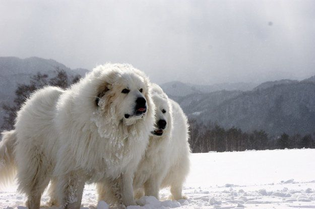 Best Dogs For Cold Weather Great Pyrenees Great Pyrenees Dog