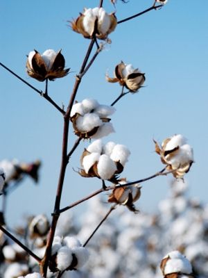 how to grow a bean plant with cotton