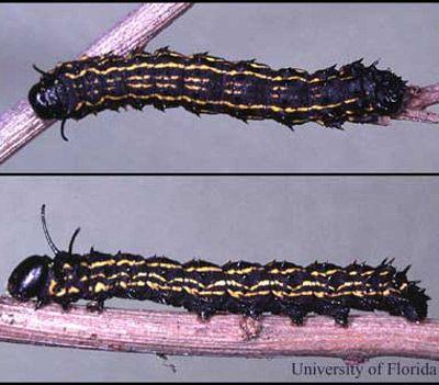 In Late October Anisota Peigleri Riotte Caterpillars Are
