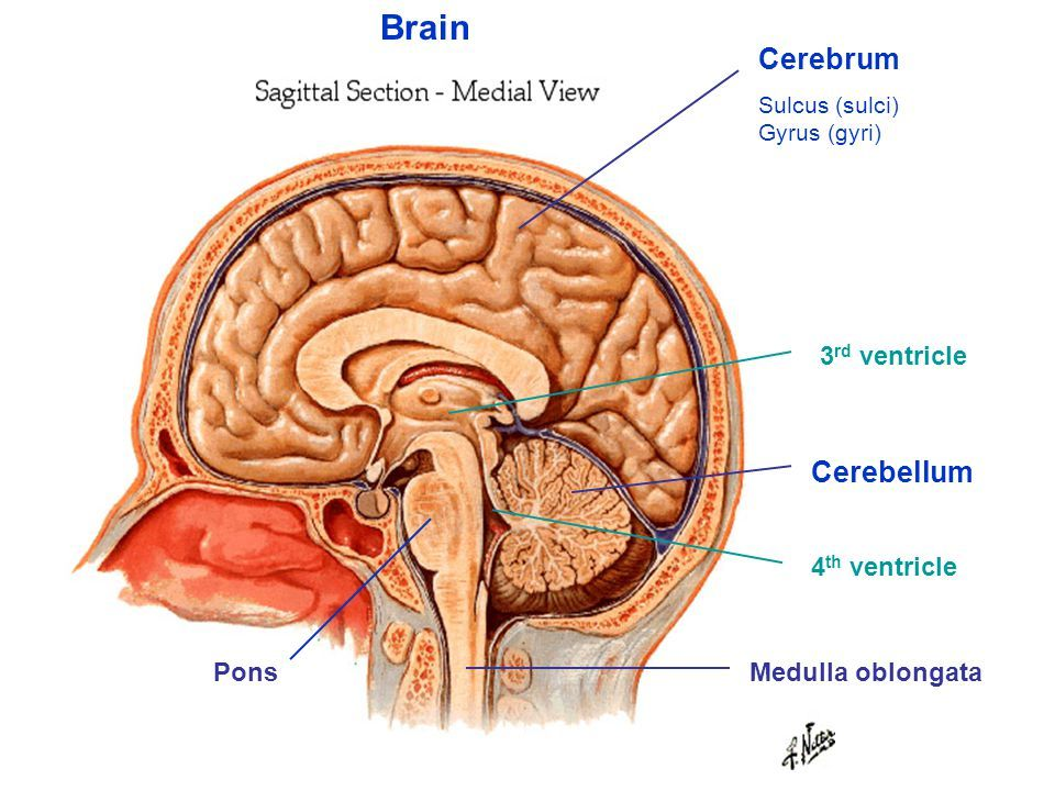 Image Result For 3rd And 4th Ventricles Of The Brain Neuro Anatomy