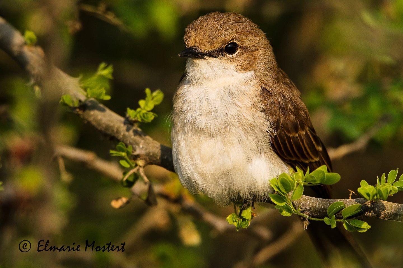 Marico Flycatcher  Bradornis mariquensis  Maricovlieëvanger  Gaborone, Botswana