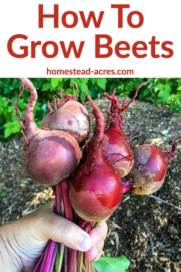 How To Grow Beets Growing Beets Beet Plant Beets