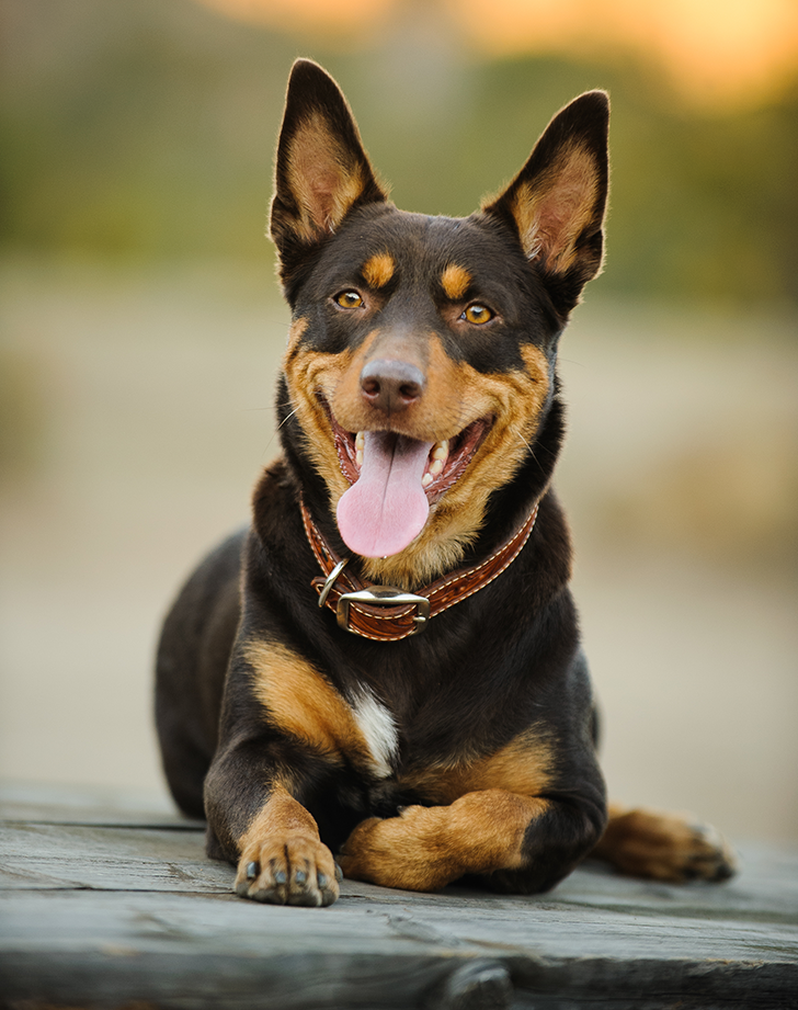 14 Dog Breeds That Can Handle Hot Weather Dog Breeds Australian Kelpie Dog Dogs