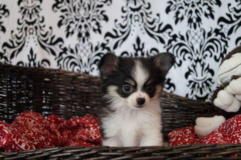 Consultez notre album photos de chihuahuas à poils longs et à poils courts. HD Chihuahua : élevage de chiens chihuahuas.