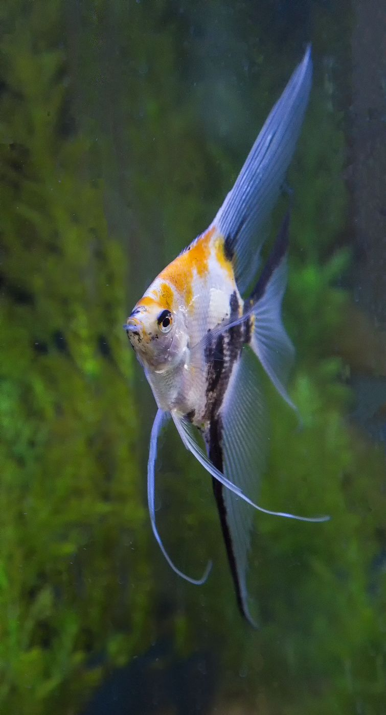 Koi veil angelfish photography by darrell gulin animais for Freshwater koi fish