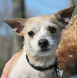 Hagerstown Md Chihuahua Dachshund Mix Meet Rambler A Puppy