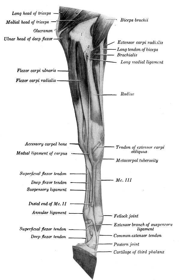 Horse Leg Muscle Diagram - DIY Enthusiasts Wiring Diagrams •