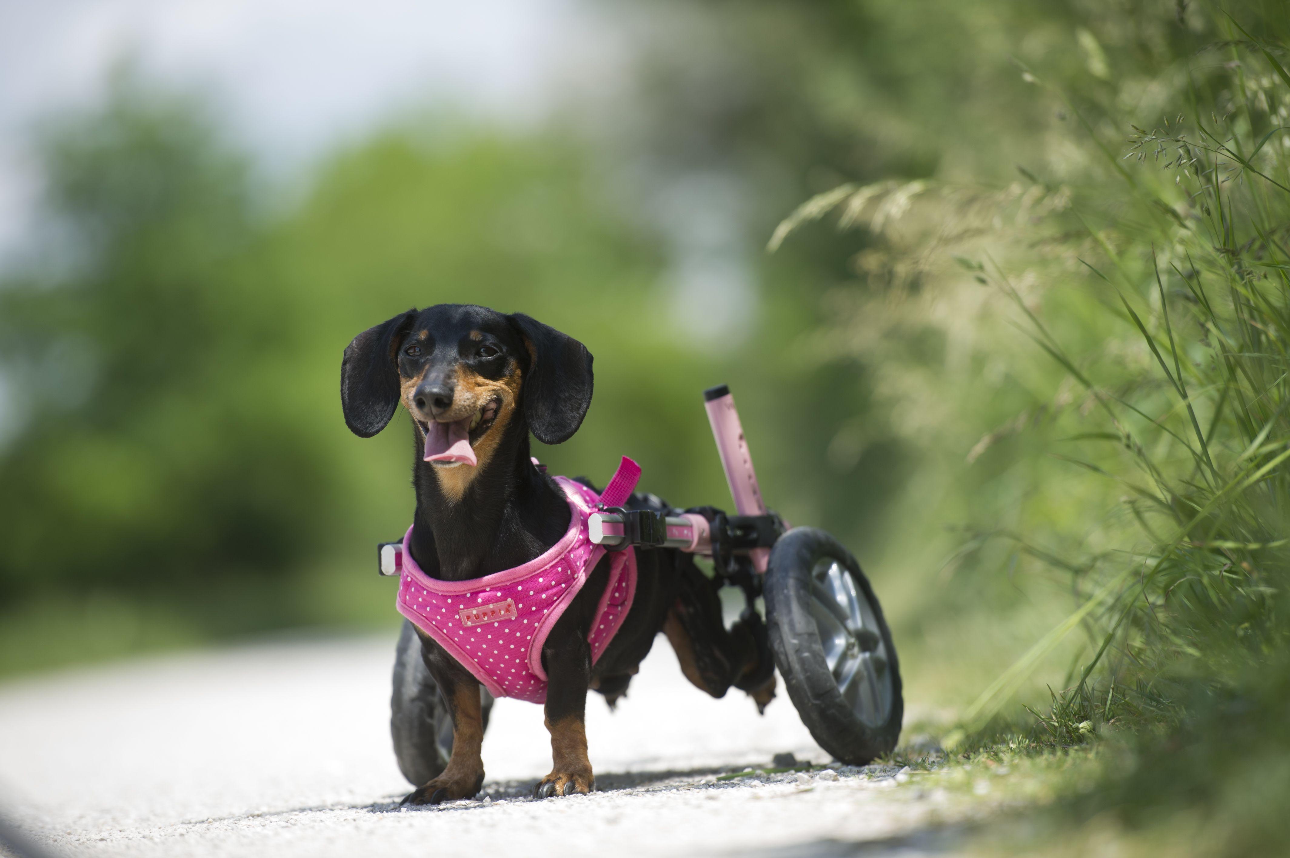 2020 Walkin Pets Calendar Contest Dog Wheelchair Dogs Weenie Dogs