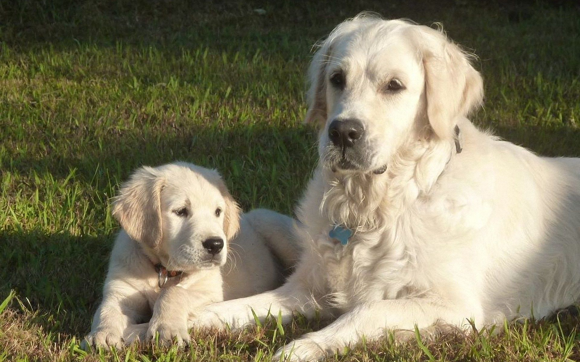There Are Some Pure White Golden Retrievers That Are Registered