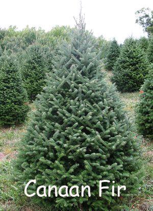 canaan fir tree - Google Search | random | Pinterest | Firs, Fir ...