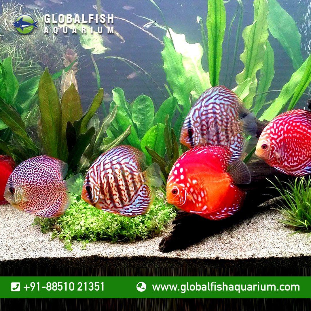 Fish Aquarium For Order Customer Contact Us At 91 8851021351 Or Mail Us Your Query At Globalfishaquariums Gmail Com Read Aquarium Fish Fish Fish Pet