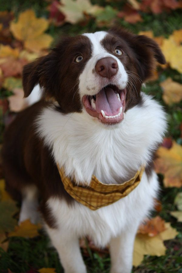 Chucky White Border Collie Brown Border Collie Collie Dog