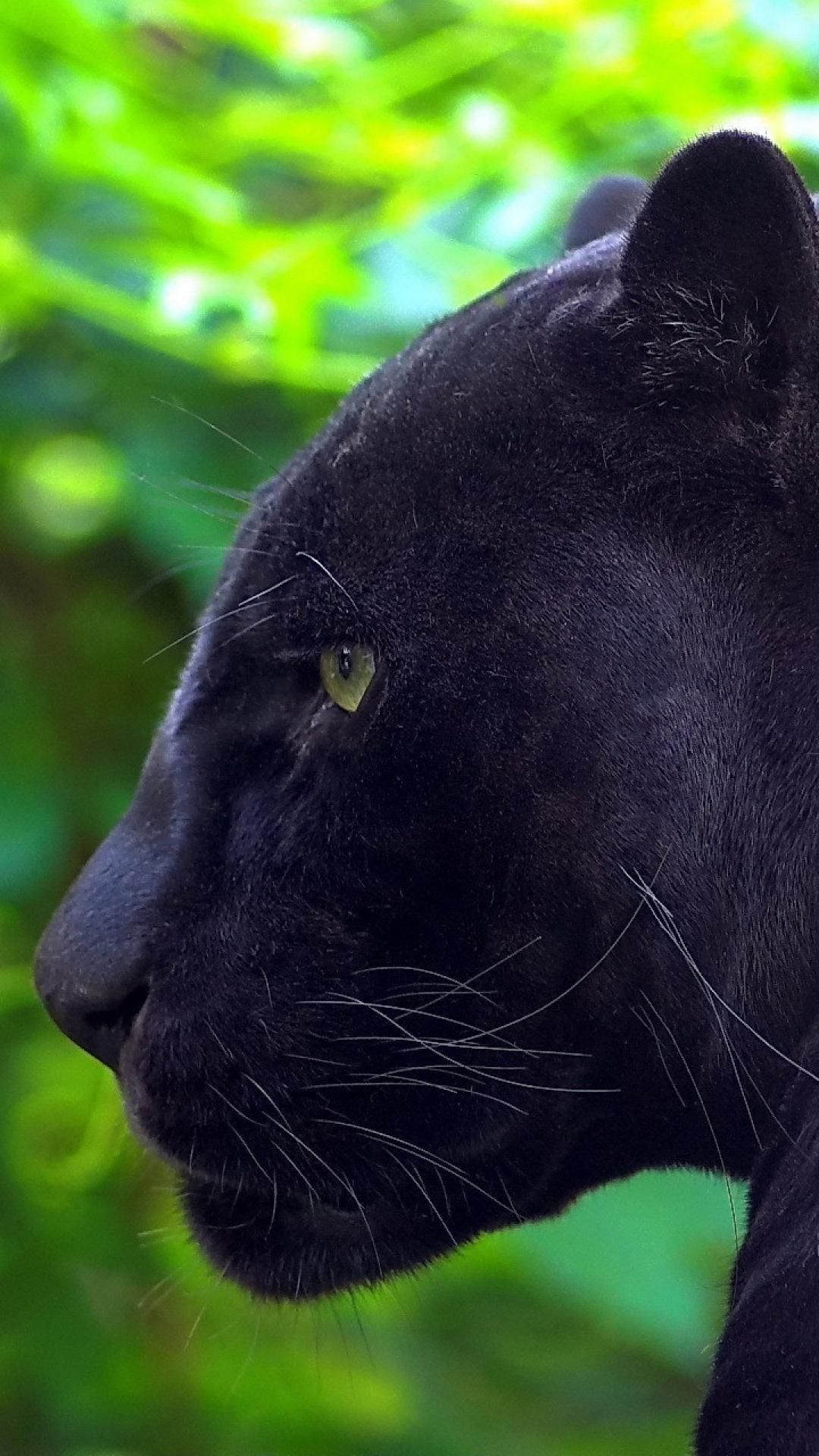 black leopard Google Search Animal wallpaper, Animals