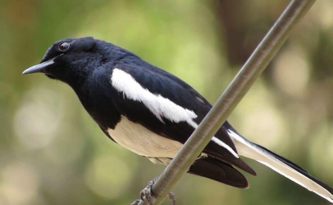 Suara Kacer Asli Mp3 Download Suara Burung Asli