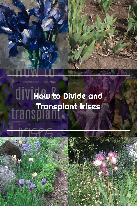 Easy Tips For Transplanting And Dividing Irises And Iris Bulbs Iris Transplant Bulb