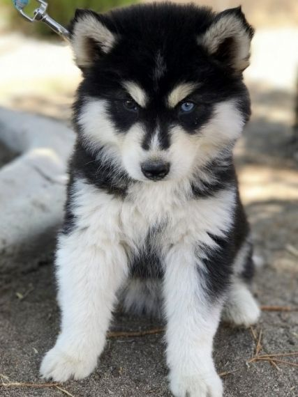 Batman A Siberian Husky Puppy Puppies Siberian Husky Husky Puppies For Sale