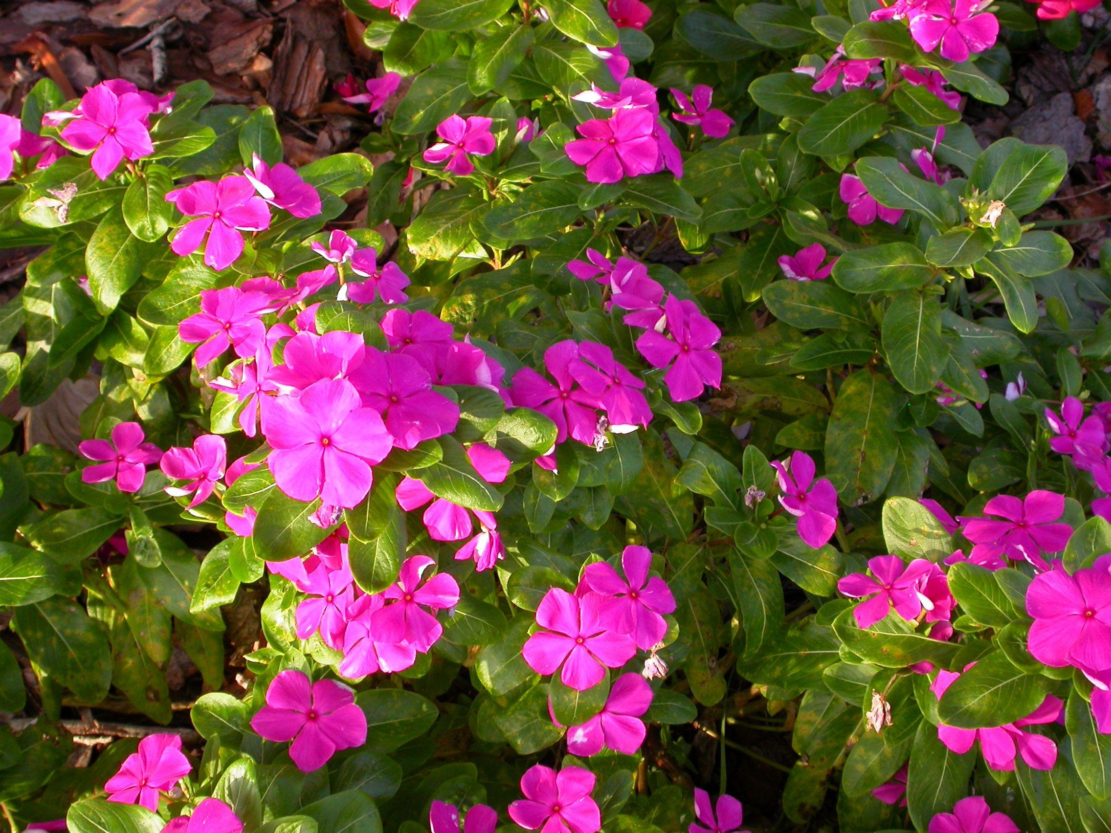 Vinca flowers impatiens alternatives pinterest flowers vinca flowers izmirmasajfo Gallery