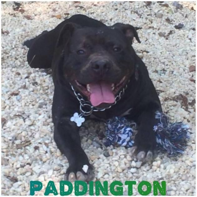 Adopt Paddington On Dogs Terrier Dogs Animals
