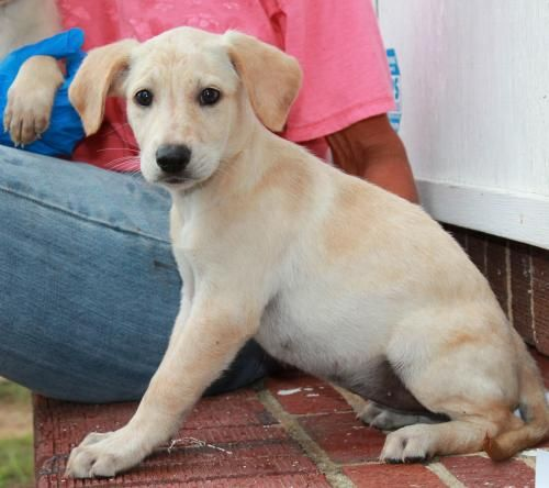Farrah Is An Adoptable Golden Retriever Labrador Retriever Dog In