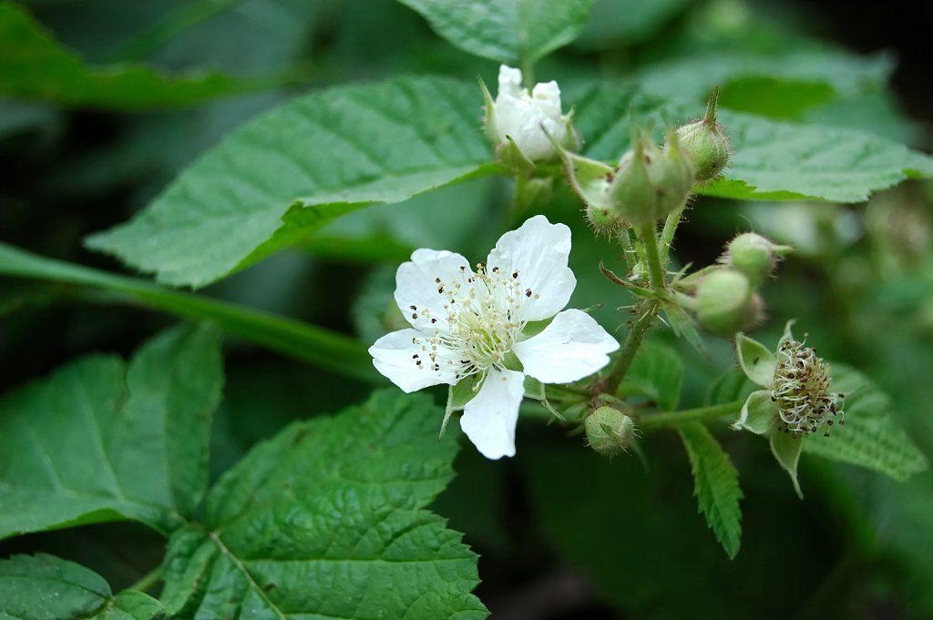La flor de la frambuesa ARBUSTOS DE HUERTO Pinterest