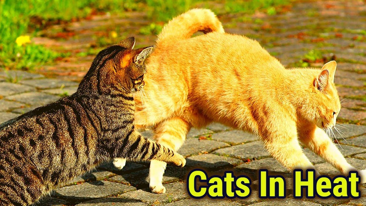 Funny Cats Male Cats In Heat And Very Angry In 2020 Cat In Heat Cats Funny Cats