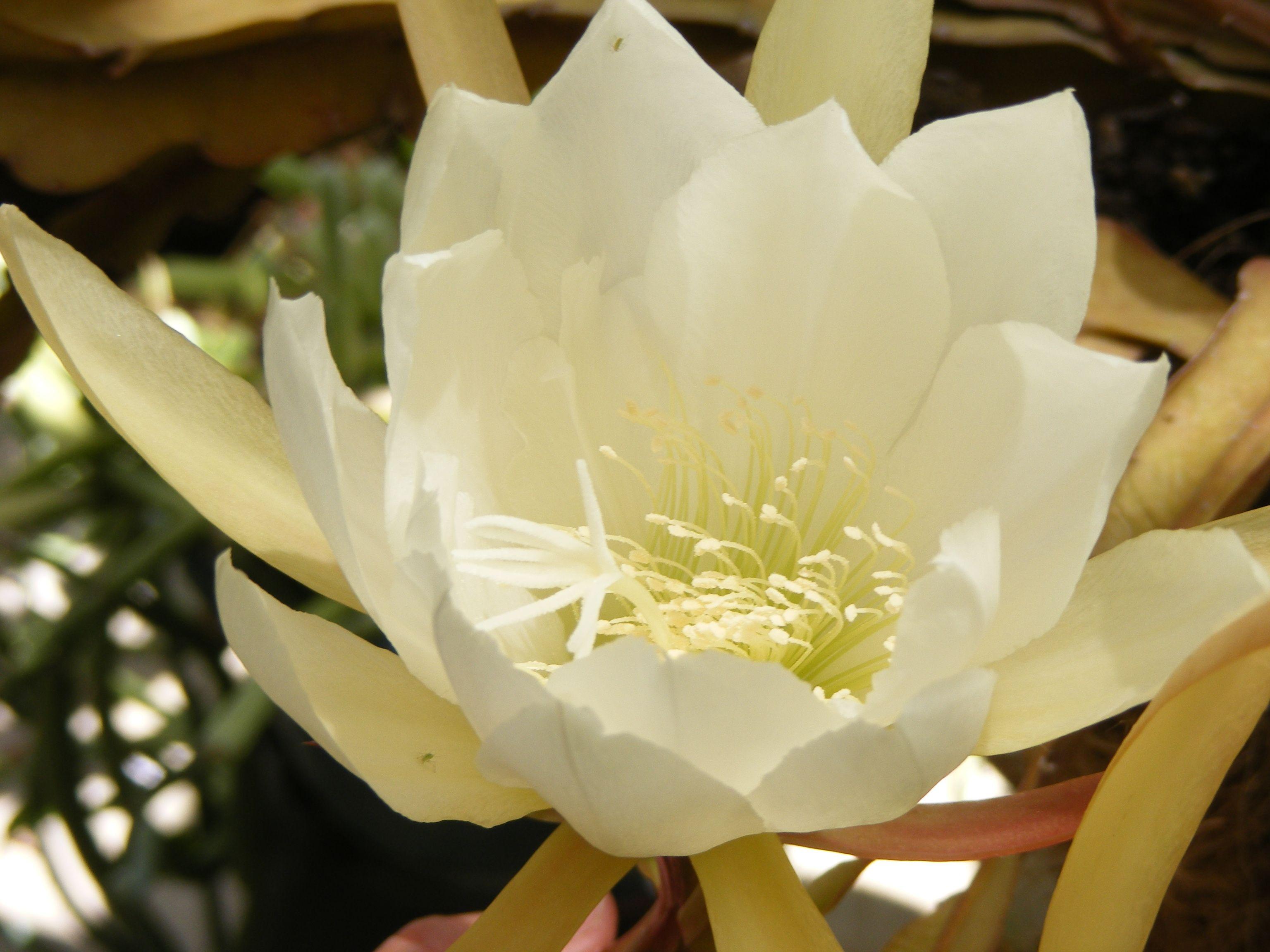 Epiphyllum - from my garden