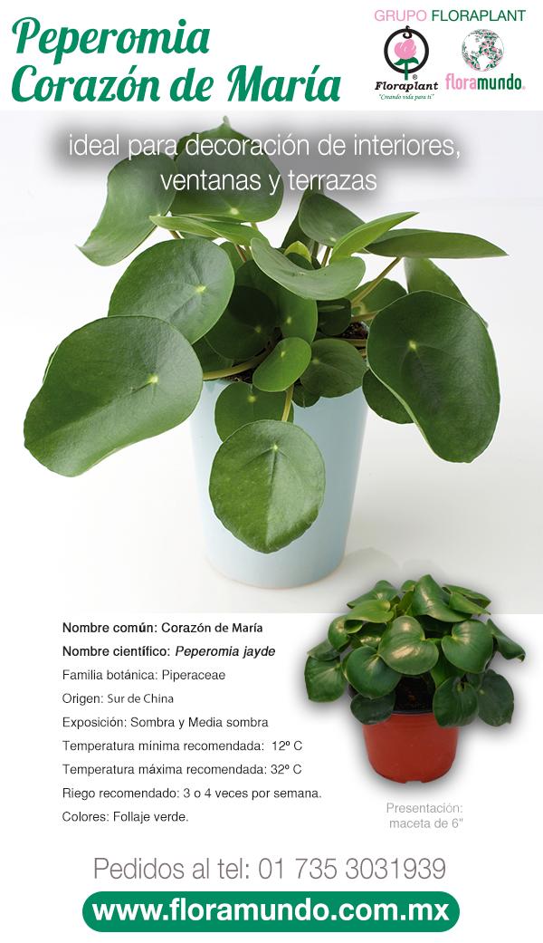 Peperomia Corazon De Maria Plantas Ornamentales De Sol Cultivo De Plantas Jardineria Y Plantas