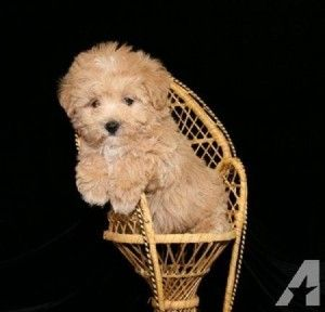 Maltipoo Puppies For Sale Ny Maltipoo Puppies For Sale Maltipoo