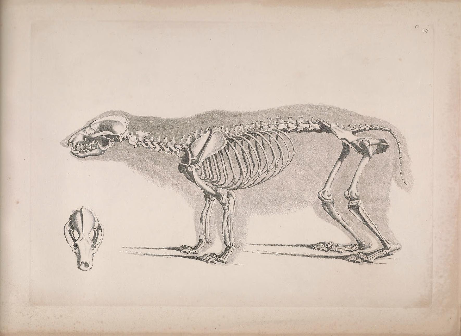 American Badger Skull Diagram Block And Schematic Diagrams