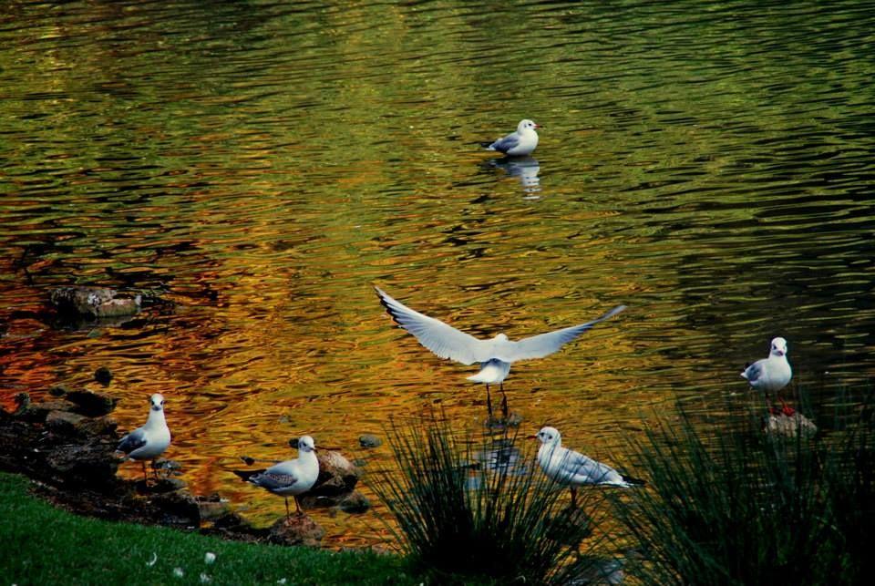 182 Gabbiani sul lago, Villa Pamphilji, Roma, Lazio. (foto di Lavinia Panariello)