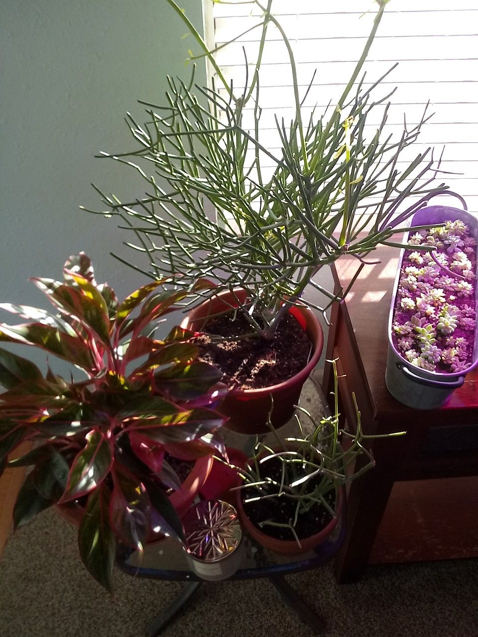 how to revive a wilted succulent