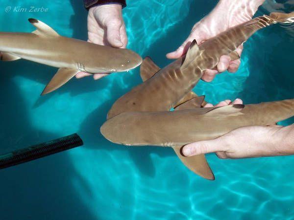 Baby black tip reef shark - photo#41