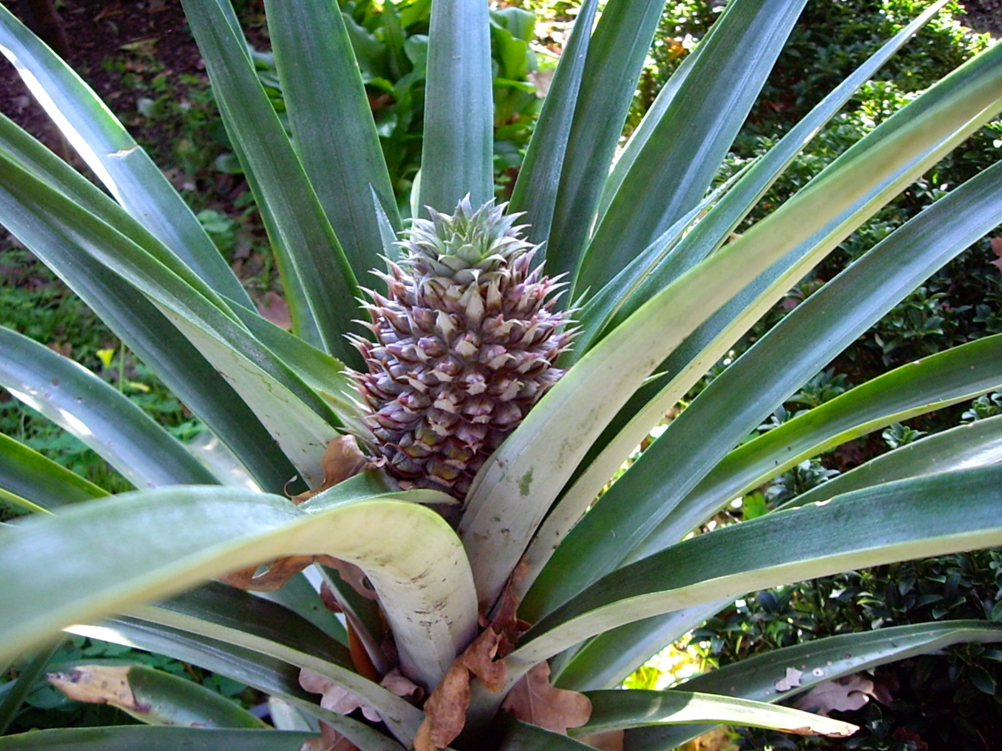 A Pineapple Growing In Adelaide South Australia It May Not Survive The Winter Growing Pineapple Pineapple Growing