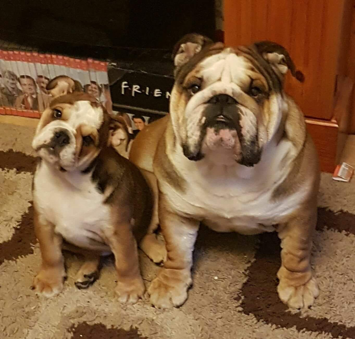 The Great British Bulldog Group Englische Bulldogge