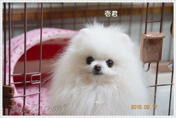 なんとなくホワイトポメラニアン 今日の壱君です 可愛いポメラニアン ブリーダーのブログ 子犬の動画満載 トイプードルもいるよ 東北 岩手 盛岡 可愛いワンちゃん ポメラニアン 可愛い犬