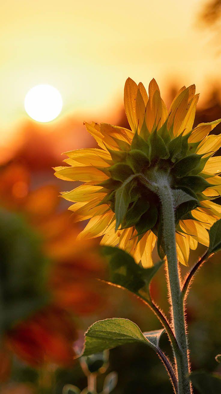 Sunflower garden blue sky Wallpaper iPhone Sunflower
