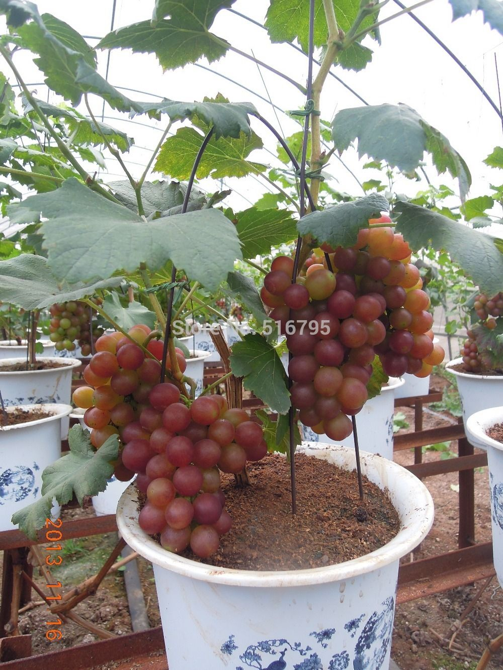 bonsai red grapes seeds pot dwarf fruit home garden climbing tree rapid growth variety - Trees For Home Garden