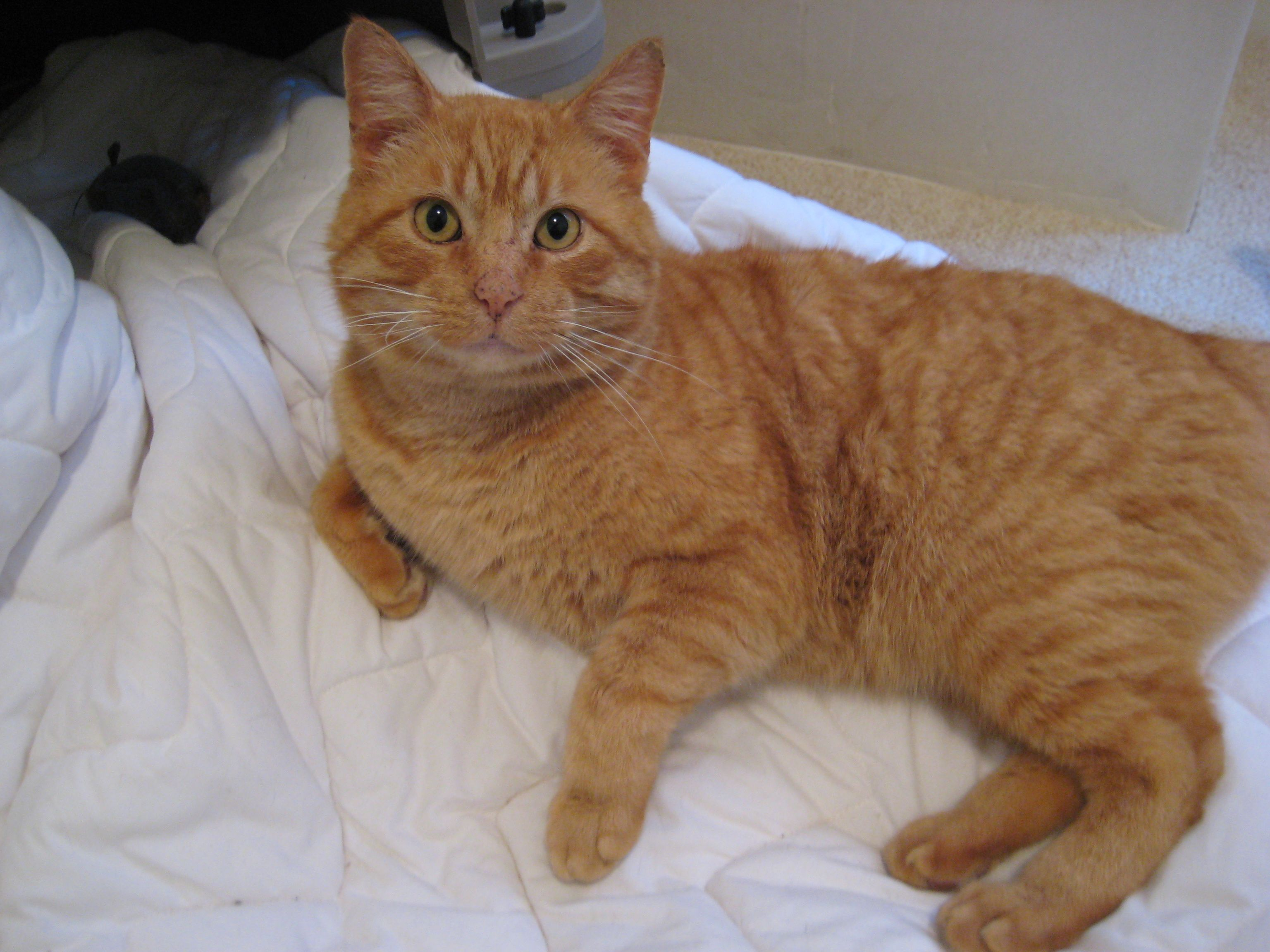 Orange Cat Needs A Great Home Orange Cats Cat Spray Orange Cat