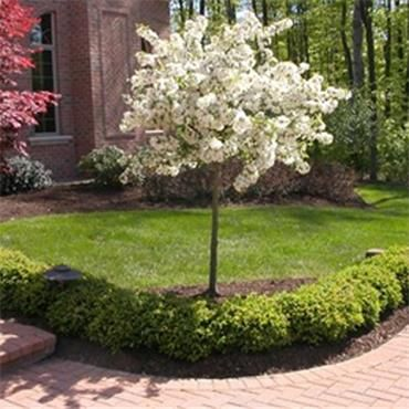 Malus Sargentii Tina Dwarf Crab Le Perfect In A Row At My Front Door Gardening Pinterest Les And
