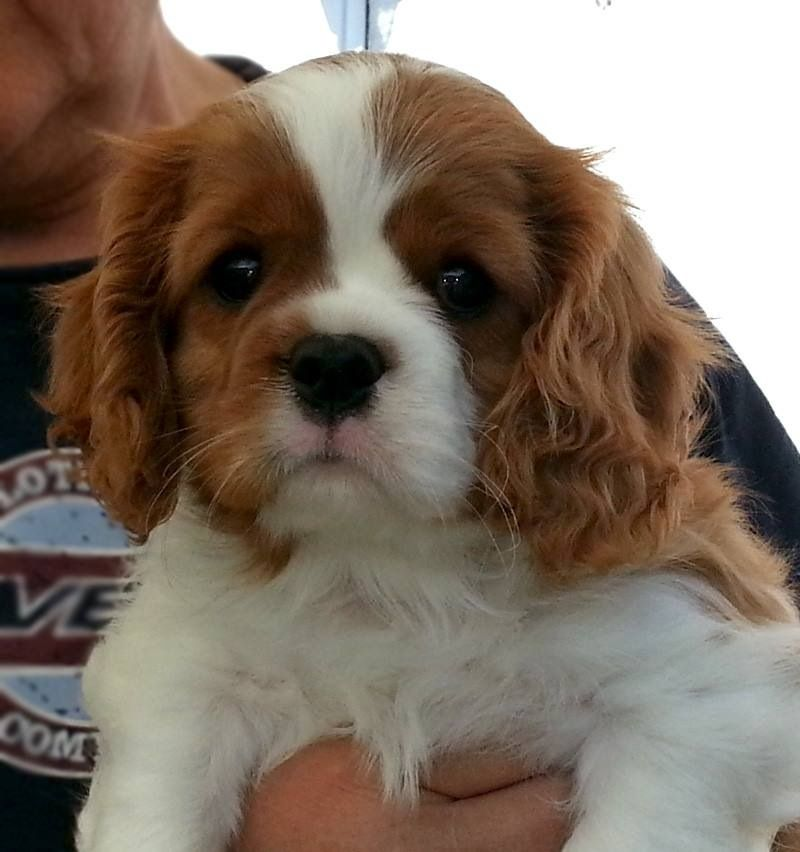 Adorable puppy cavalier king charles spaniel king