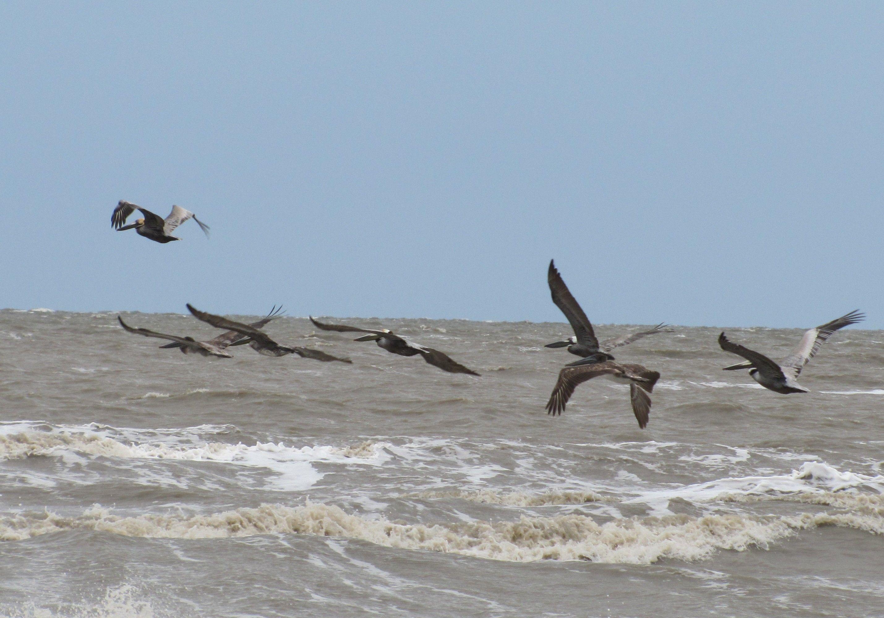 Holly Beach Pelicans, Southwest Louisiana USA | Louisiana ...