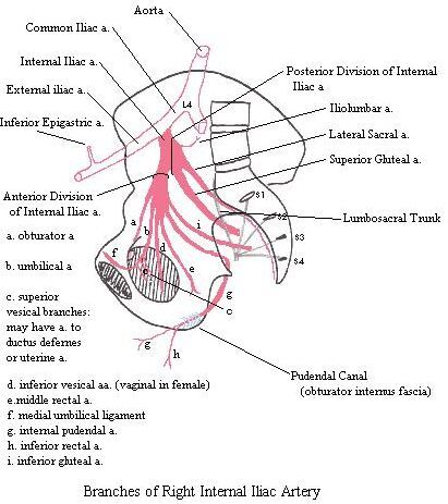 Right internal iliac artery diagram | Anatomy note world | Pinterest ...