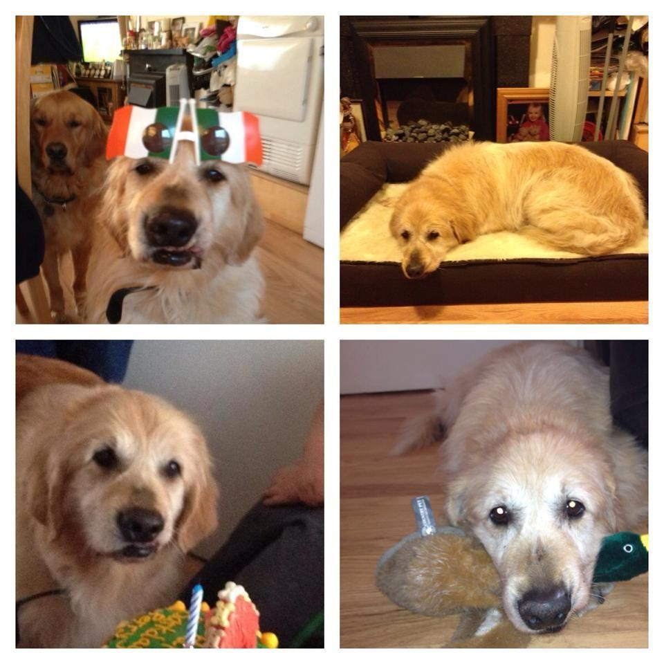 R.I.P perry Golden retriever, Retriever, Dogs