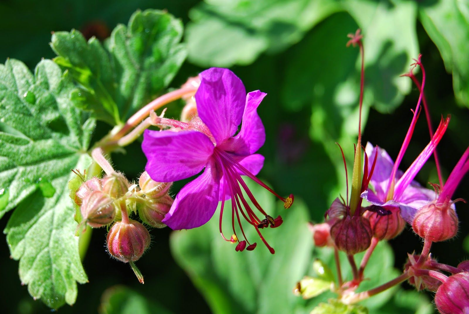Hardy Geranium Pink Lovely Sunny Picture Beautiful Flowers